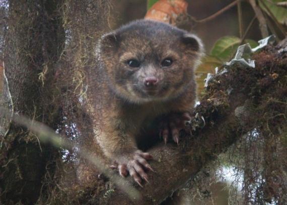 Olinguito, nuevo mamifero descubierto en Ecuador